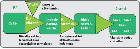 Négy anyag szükséges a csont és az érrendszer egészségéhez