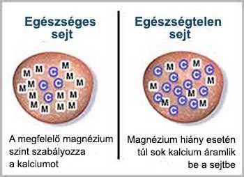 A magnézium szabályozza a kalciumszintet