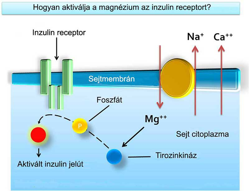 A magnézium a tirozinkinázon keresztül aktiválja az inzulin receptort
