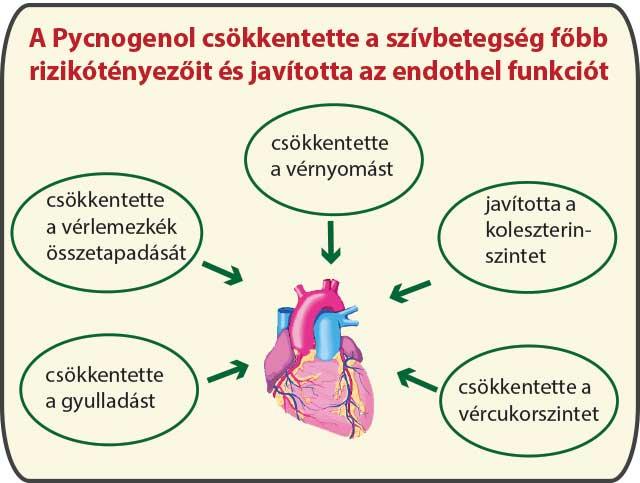 A Pycnogenol javította az endothel funkciót