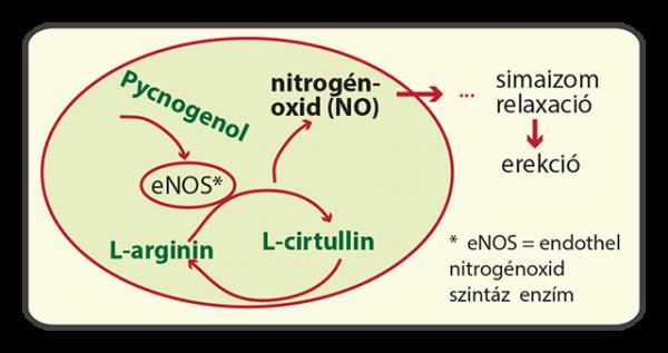 Vigor és nitrogénoxid L-arginin, L-citrulin, Pycnogenol