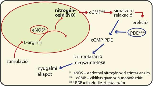 Az erekciós ciklusban központi szerepet játszik a nitrogén-oxid