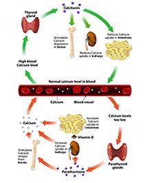 A kalciumszint szabályozása