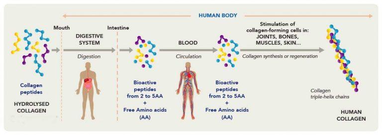 A kollagen kepződése kollagénpeptidekből